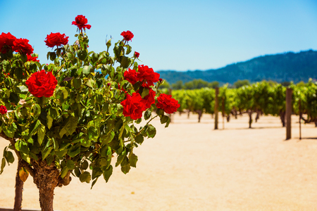 Rose bush with Californian vineyard landscape in Napa Valley in summertime