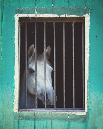 Portrait of a beautiful gray horse in a stable stall
