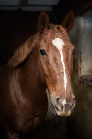 Portrait of a beautiful bay horse in a stable stall 版權商用圖片