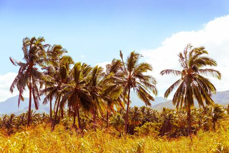 Vintage style coconut palm trees in the tropics