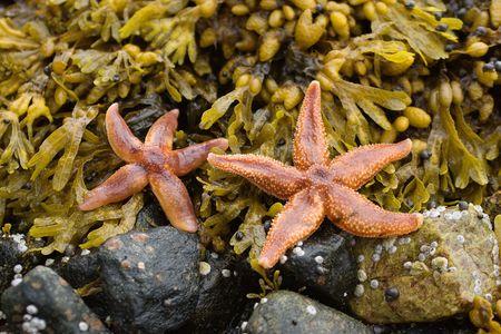 Starfishes on stones among seaweed photo