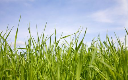 Green juicy grass on a background of the sky photo