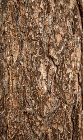 coarse: Surface of a pine bark (background)