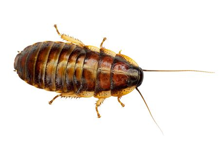 unhygienic: The African big cockroach on a white background