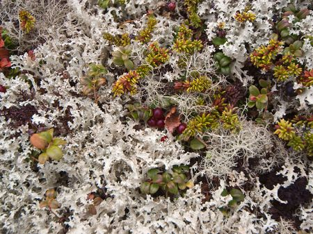 liquen: Superficie de un tupido liquen en la tundra