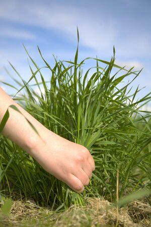 Hand tearing a green grass photo
