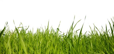 Green grass on a white background photo
