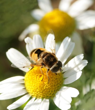The fly sits on a flower of a camomile photo