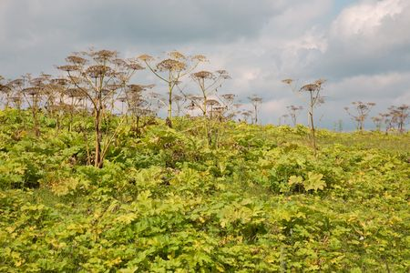 thickets: Thickets Heracleum in the field in the summer Stock Photo
