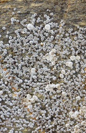 barnacles: Set of sea animals - barnacle on a rock