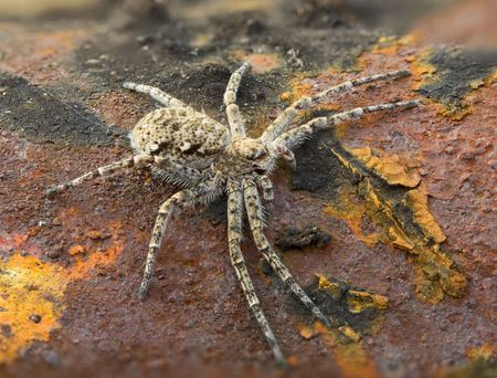 macrophoto: Macrophoto of a small spider on a brown rusty surface