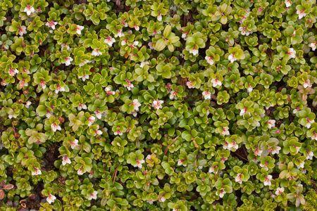 uva: Arctostaphylos uva ursi flowering - background Stock Photo