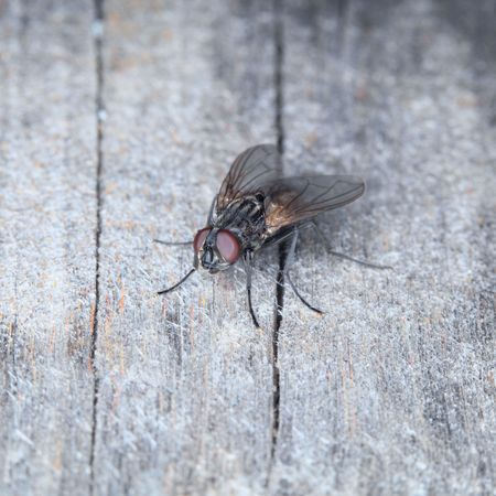 ugliness: Grey house fly on a surface of old wood Stock Photo