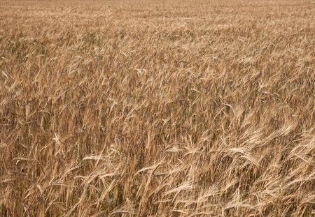 Golden background from a field sowed by a rye Stock Photo - 5534419