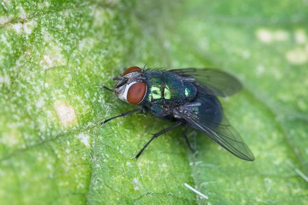 macrophoto: Macro-photo of a fly sitting on green sheet of a plant Stock Photo