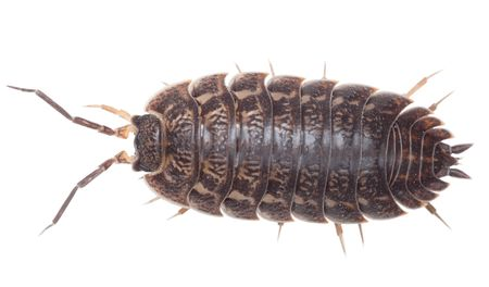 invertebrate: Brown big wood louse isolated on white background