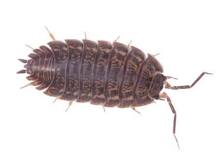 arthropod: Big brown wood louse is isolated on a white background