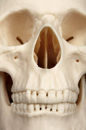 bared teeth: The facial part of the skull close up