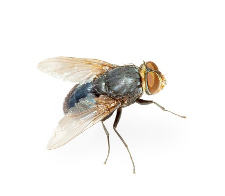 hotbed: Common fly - a hotbed of infection, isolated on a white background