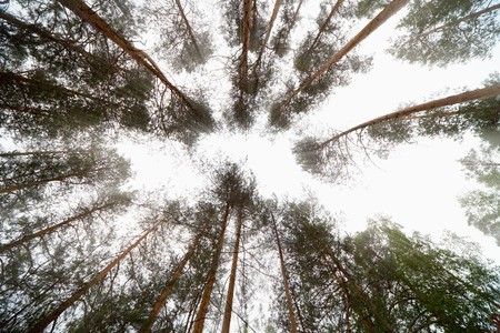 The bright sky in pine wood - an abstract composition photo