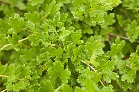gooseberry bush: Wet green leaves on a gooseberry bush