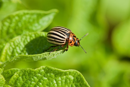 Colorado potato beetle intends to fly from green potato leaf photo