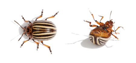 awkwardness: Two Colorado bugs. Live and dead. Isolated on white background.