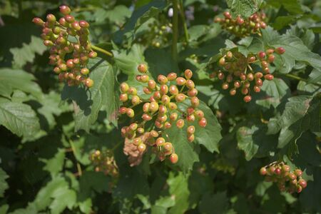 Unripe berries of a guelder-rose on a bush in a garden Stock Photo - 7614011