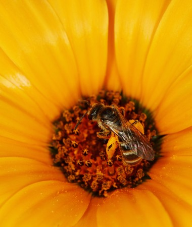 Wild bees feeding on an orange flower close up Stock Photo - 8066468