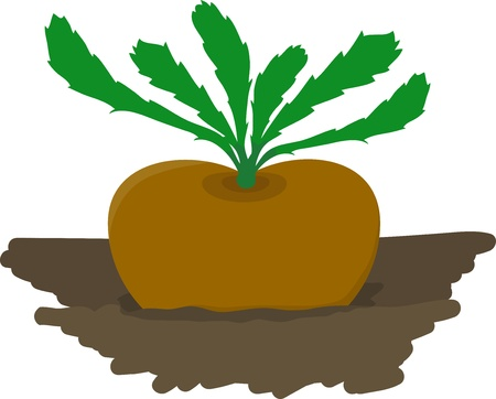 rzepa: Rzepa uprawy w ogrodzie