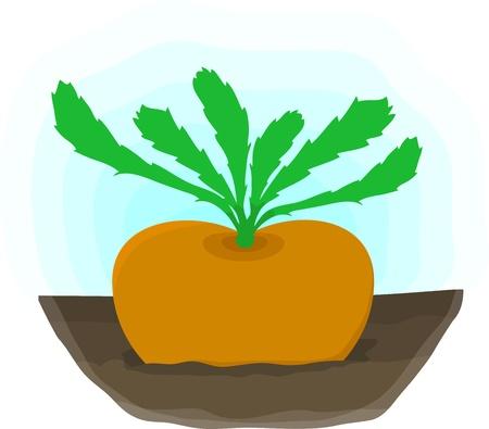 rzepa: Rzepa dojrzałych rośnie na łóżko - jesiennej upraw