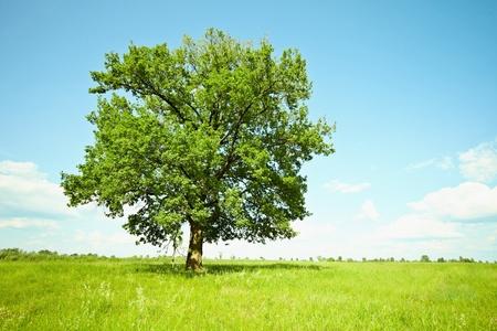 녹색 초원 사이 혼자 큰 오래 된 오크 나무