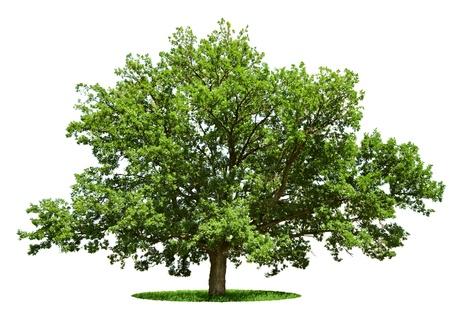 De grote boom - eik is geïsoleerd op een witte achtergrond