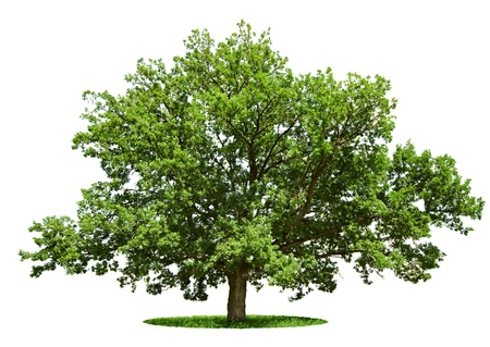 single tree: The big tree - oak is isolated on a white background Stock Photo
