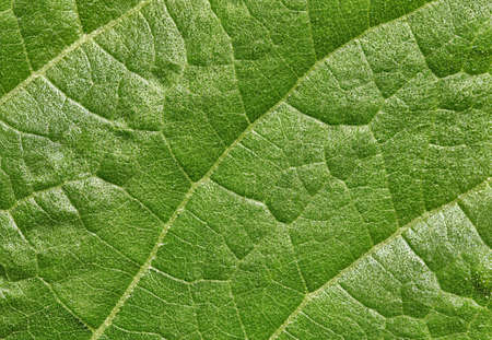 The green leaf of plant surface - the background Stock Photo - 12295671