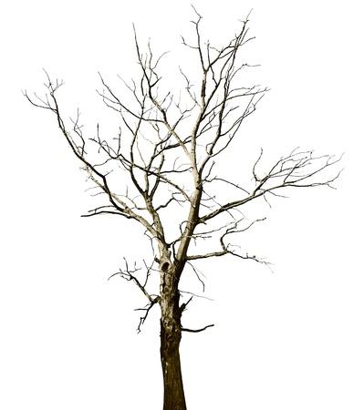 dode bladeren: Verloren een grote droge boom - eiken, op witte achtergrond