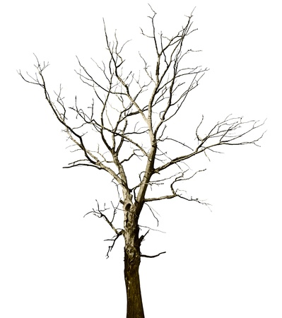 Lost a large dried tree - oak, isolated on white background