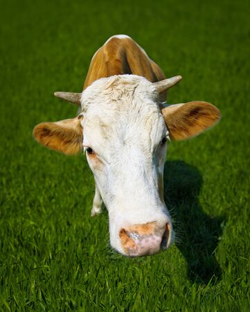 Funny cow in the meadow - a portrait of a close-up photo