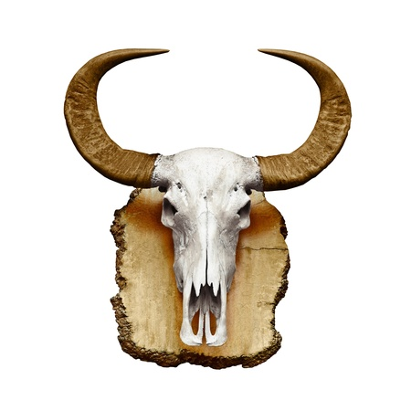 Bull skull with horns isolated on white background photo