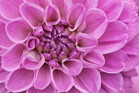 Flower purple chrysanthemum close up - floral background Stock Photo - 14187237