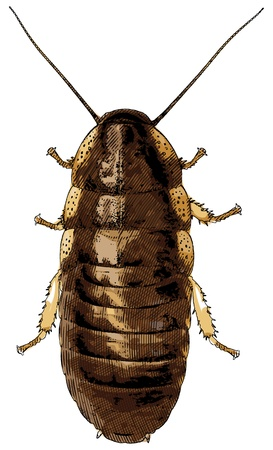 Young Madagascar cockroach - vector illustration Vector