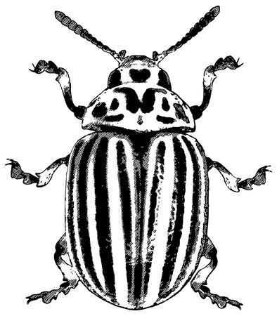 Colorado potato beetle - rough vector illustration Illustration