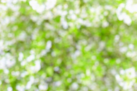 Blurred abstract background - cherry blossom photo