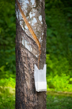 tapping: Maschiatura albero Hevea per la produzione di lattice