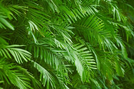 Background - the palm green foliage photo