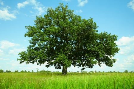 One oak tree in a field photo
