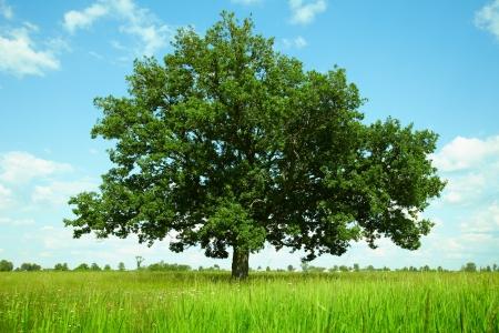 One oak tree in a field photo