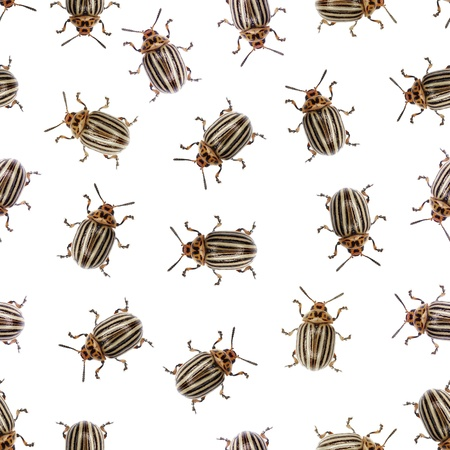 incursion: Seamless texture - Colorado beetle pests on a white background