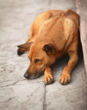 Homeless red dog resting on the pavement Stock Photo - 16789510