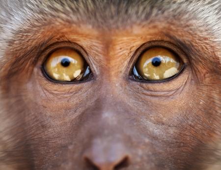 ojos marrones: Hocico Monkey con los ojos amarillos cerca - Macaca fascicularis